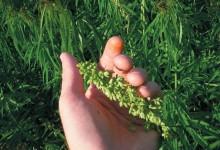 Экологические аспекты выращивания и использования конопли