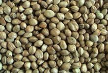Бесплатные семена конопли на MILLION MARIHUANA MARCH 2013