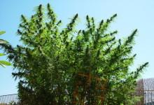 Как собрать с растения полукилограммовый урожай или пять советов от гроверо ...