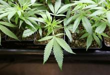 В Северной и Южной Америке постепенно ослабляют поводья против марихуаны